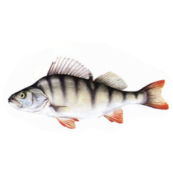 Perch, Yellow Perch or European Perch