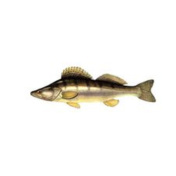 Pike-perch also called European Walleye